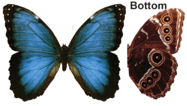 Butterfly House at Put-in-Bay - Butterfly Identification - Common Blue Morpho