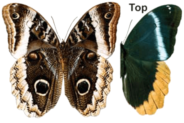 Butterfly House at Put-in-Bay - Butterfly Identification - Queen Owl Butterfly