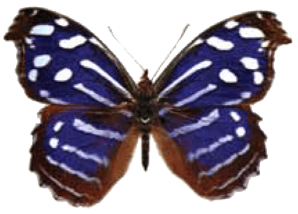 Butterfly House at Put-in-Bay - Butterfly Identification - Royal Blue