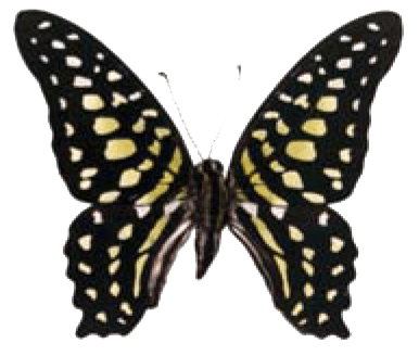 Butterfly House at Put-in-Bay - Butterfly Identification - Tailed Jay